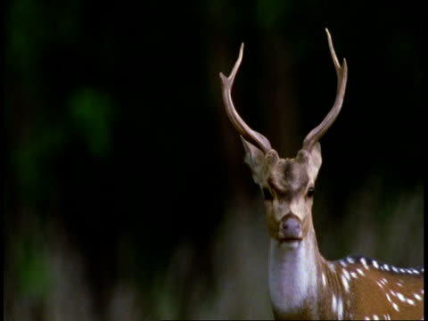 cu chital deer, axis axis, head and antlers, bandhavgarh national park, india - national icon stock videos and b-roll footage
