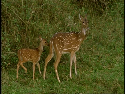 ms chital deer, axis axis, mother and fawn in forest, western ghats, india - fawn stock videos & royalty-free footage