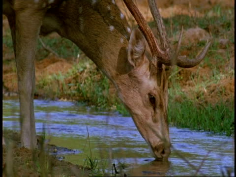 cu chital deer, axis axis, stag drinking from water hole, bandhavgarh national park, india - 枝角点の映像素材/bロール