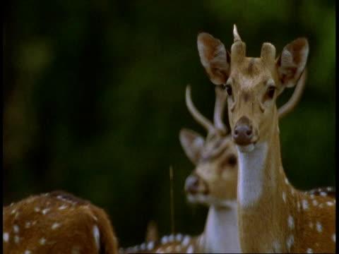 vidéos et rushes de cu chital deer bellowing, bandhavgarh national park, india - quatre animaux