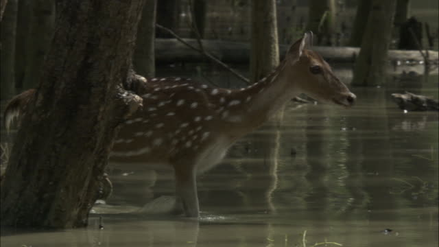 A Chital deer cautiously wades through water. Available in HD.