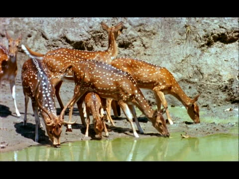 Chital (Axis axis) deer drinking from pool, Nagarahole, Southern India