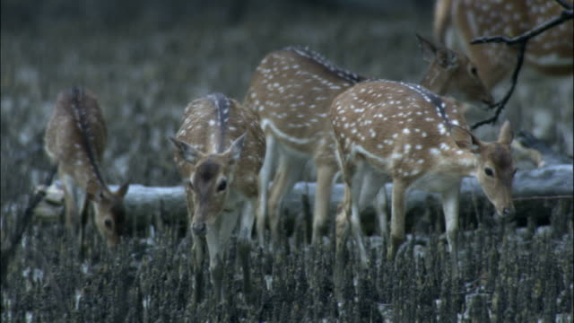 chital deer family walk towards camera available in hd. - deer family stock videos and b-roll footage