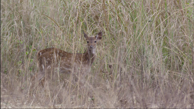 chital deer (axis axis) fawn looking alert on grassland, bandhavgarh, india - fawn stock videos & royalty-free footage