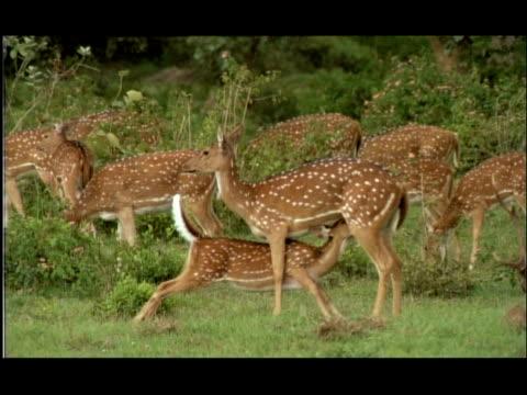 vídeos y material grabado en eventos de stock de chital deer (axis axis) fawn suckling, bandipur, nagarahole national park, india - mamar