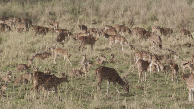 chital deer (axis axis) herd on grassland, bandhavgarh, india - grazing stock videos & royalty-free footage