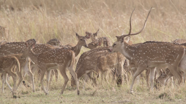Chital deer (Axis axis) herd on grassland, Bandhavgarh, India