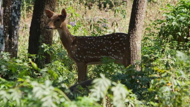 chital deer in sandalwood forest, kerala / india - sandalwood stock videos & royalty-free footage