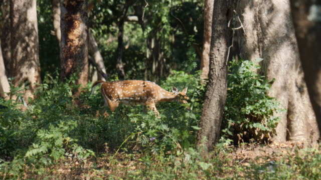 chital deer in sandalwood forest, kerala / india - animal stock videos & royalty-free footage