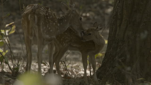 chital deer licks fawn, india. - fawn stock videos & royalty-free footage