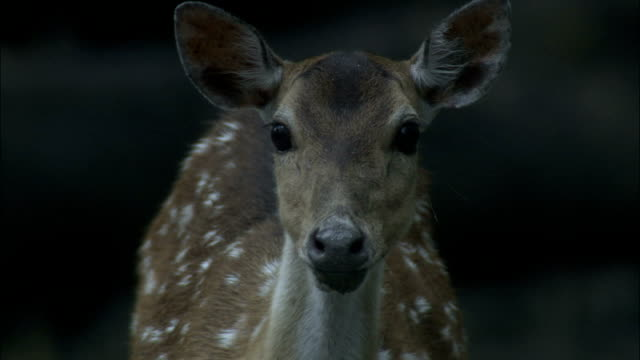 chital deer looks at camera available in hd. - hirsch stock-videos und b-roll-filmmaterial