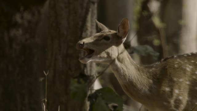 chital deer makes alarm calls, india. - doe stock videos & royalty-free footage