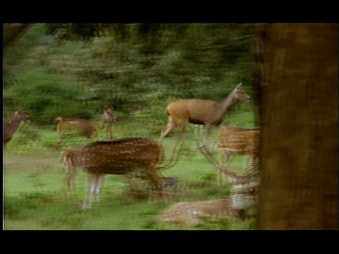 chital deer (axis axis) resting by forest, bandipur, nagarahole national park, india - adagiarsi video stock e b–roll