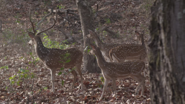 vidéos et rushes de chital deer (axis axis) run away in forest, bandhavgarh, india - évasion