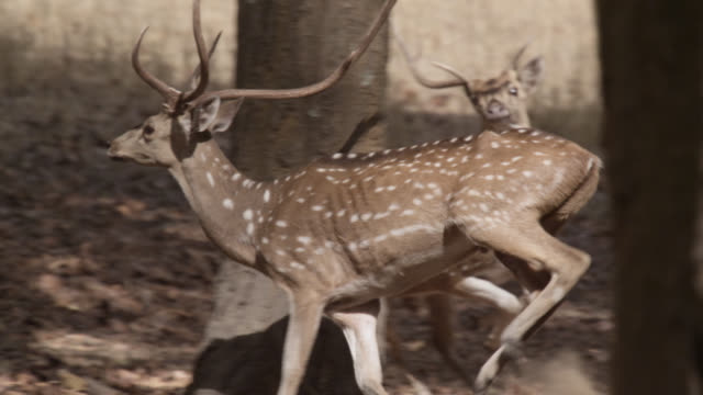 Chital deer (Axis axis) run away in forest, Bandhavgarh, India