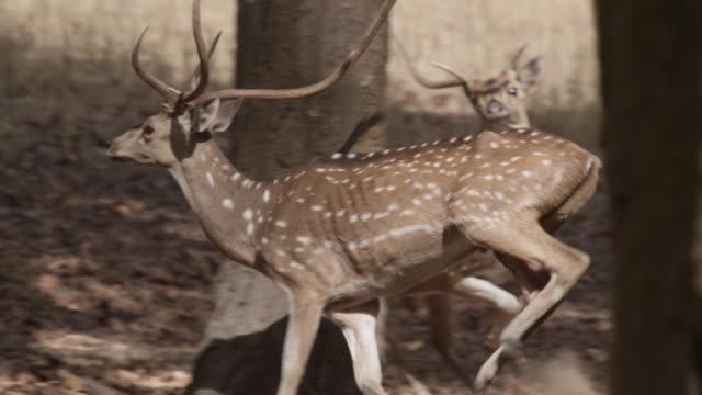 vídeos de stock, filmes e b-roll de chital deer (axis axis) run away in forest, bandhavgarh, india - medo