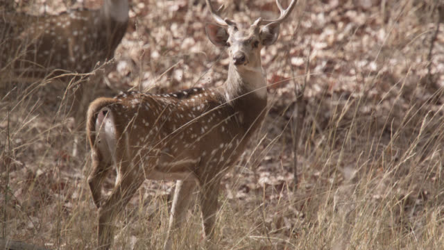 vídeos de stock e filmes b-roll de chital deer (axis axis) run away in forest, bandhavgarh, india - veado