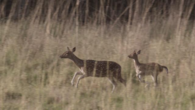 chital deer (axis axis) run away on grassland, bandhavgarh, india - deer stock videos & royalty-free footage