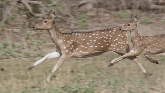 vídeos de stock, filmes e b-roll de chital deer (axis axis) run away on grassland, bandhavgarh, india - três animais