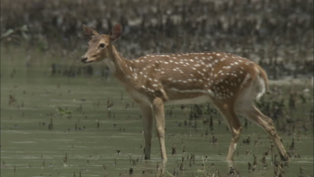 vidéos et rushes de a chital deer wades into the shallows of the ganges river to graze. available in hd. - bangladesh