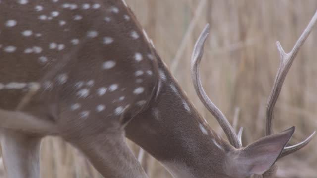 vídeos de stock e filmes b-roll de chital deer (axis axis) walks on grassland, bandhavgarh, india - planície