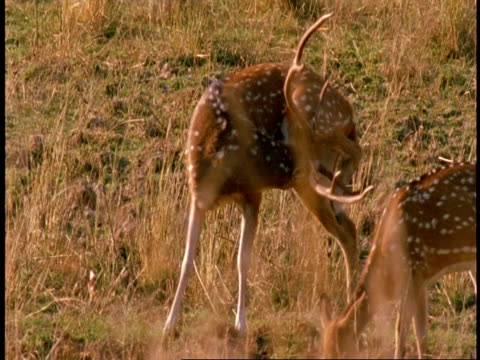 ms chital stag, axis axis, licking his penis, bandhavgarh national park, india - tierpenis stock-videos und b-roll-filmmaterial
