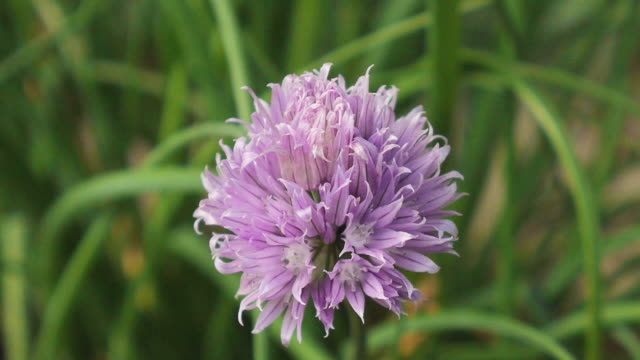 chive flower - chive stock videos & royalty-free footage