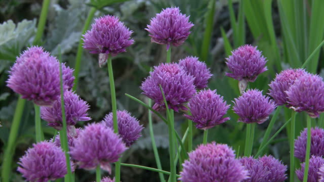 chives - chive stock videos & royalty-free footage