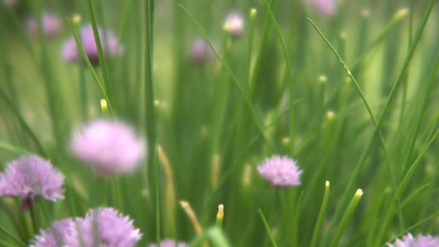 chives_2 - chive stock videos & royalty-free footage