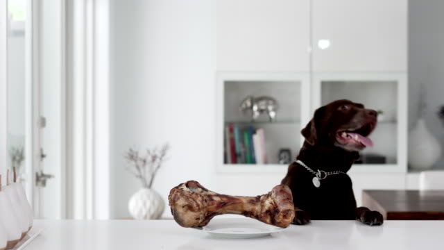 chocolate labrador trying to reach for a bone on the counter - retriever stock videos & royalty-free footage