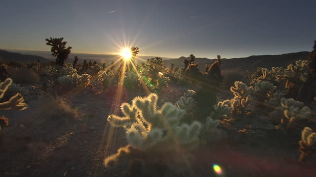cholla cactus at sunrise, joshua tree national park, ca - beauty in nature stock videos & royalty-free footage