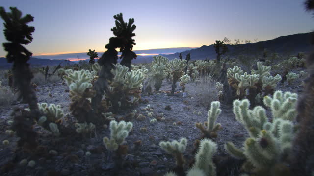 cholla cactus, joshua tree national park, ca - joshua tree national park stock videos & royalty-free footage
