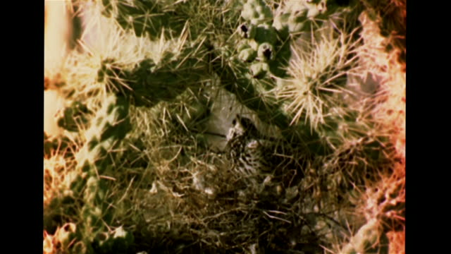 cholla cactus vs cactus wren building nest in cactus vs different bird species nesting in cacti curved bill thrasher mourning dove greater roadrunner... - cactus wren stock videos & royalty-free footage