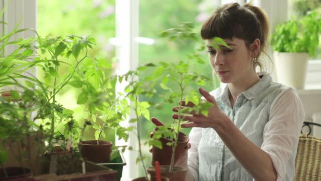 vídeos de stock e filmes b-roll de de escolher tomateiro - colocar planta em vaso