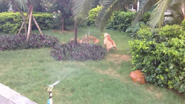 chris pardy's bulldog loves to play with the garden's sprinkler. in this cute and funny footage, see him attempt to drink the water gushing from it,... - macao stock videos & royalty-free footage