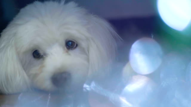 christmas and cute dog sleeping on the floor - dog blinking stock videos & royalty-free footage