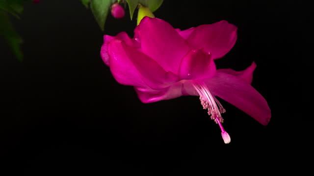 黒の背景に対して4kタイムラプスビデオで咲くクリスマスサボテンの花。シュルンベルゲラ・トランカタの花が育つ. - シャコバサボテン点の映像素材/bロール