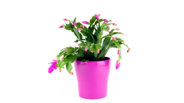 christmas cactus; time lapse - pot plant stock videos and b-roll footage