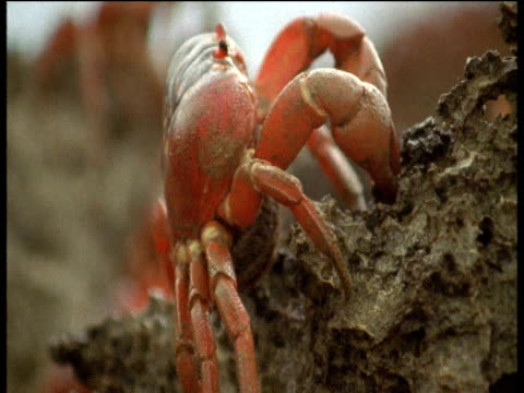 christmas island red crab carrying eggs climbs over rocks, christmas island - crab stock videos & royalty-free footage