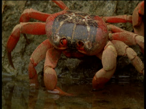 christmas island red crab drinks from pool, christmas island - crab stock videos and b-roll footage