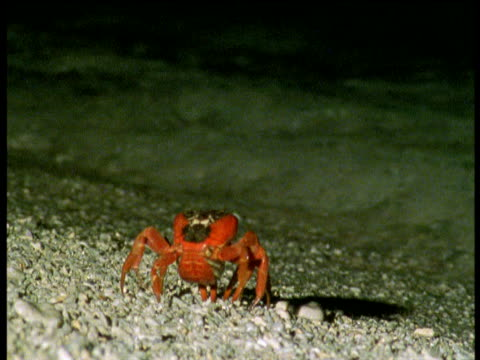 christmas island red crab enters water, gets washed ashore by wave then releases eggs into surf, christmas island - aquatic organism stock videos & royalty-free footage