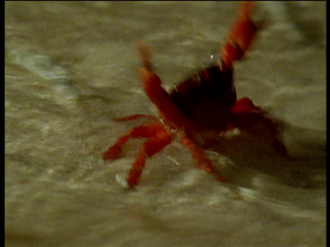 christmas island red crab releases eggs into water, christmas island - crab stock videos & royalty-free footage