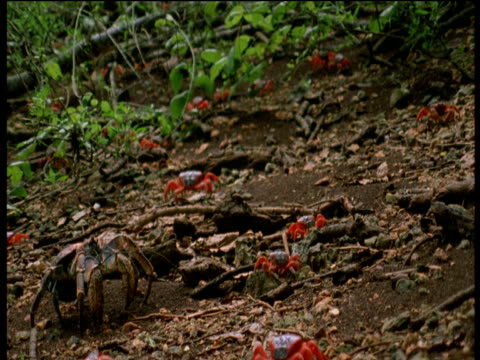 Christmas Island Red Crabs and Coconut crab walk through forest, Christmas Island