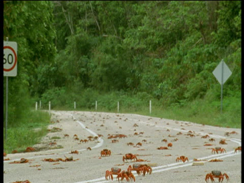 christmas island red crabs cross road, christmas island - crab stock videos and b-roll footage