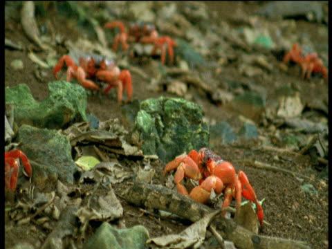 christmas island red crabs walk through leaf litter, christmas island - crab stock videos and b-roll footage