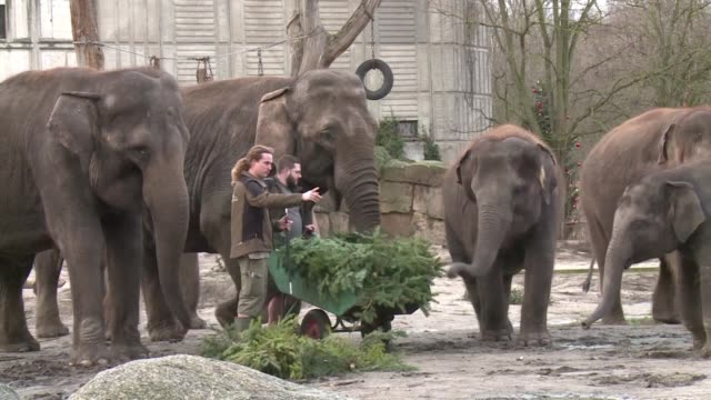 Christmas may be over but the elephants at Berlin's Tierpark zoo enjoy a special Yuletide treat a feast of unsold Christmas trees