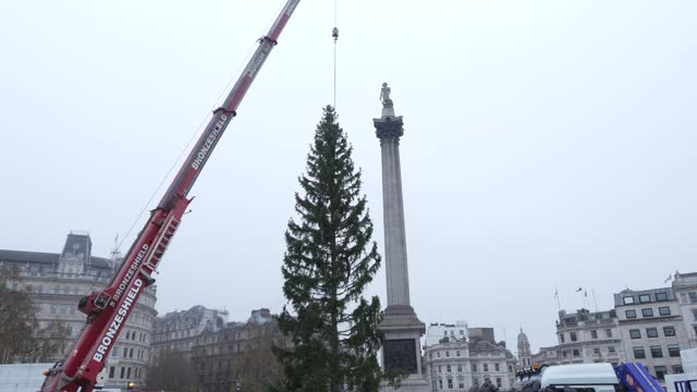 GBR: Trafalgar Square Receives Christmas Tree For The Festive Season