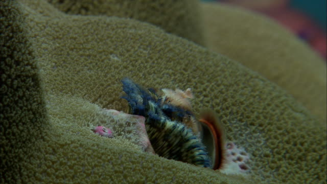 stockvideo's en b-roll-footage met christmas tree worm (spirobranchus sp.) emerges from coral on reef, west papua, indonesia - kokerworm