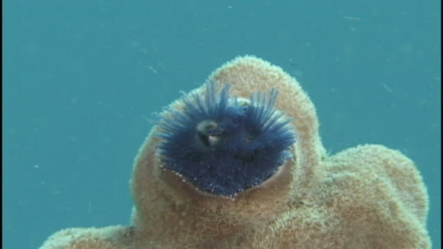 christmas tree worm (unknown species) on reef. papua new guinea - sea worm stock videos & royalty-free footage