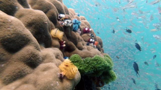 stockvideo's en b-roll-footage met kerstboomwormen (spirobranchus giganteus) op onderwater koraalrif - kokerworm